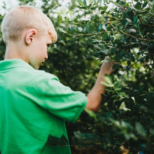 A young boy picking blueberries at a u-pick farm in southwest Michigan.