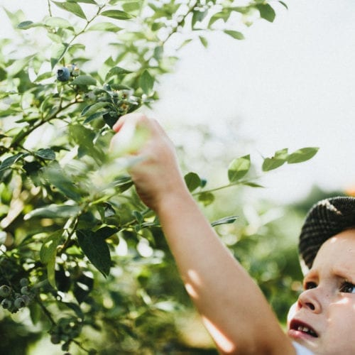 A little boy picking blueberries at a u-pick farm in southwest Michigan.