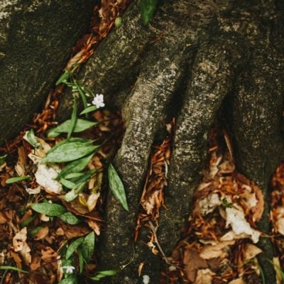A delicate wildflower among thick beach maple roots at Warren Woods State Park in Michigan.